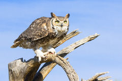 Beautiful great horned owl Royalty Free Stock Images