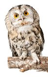 Closeup of beautiful great owl isolated on white. Beautiful great owl white background one animal isolated on white studio shot stock photo