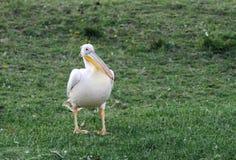 A Beautiful Great Pelican on the bank of Lake Naivasha Royalty Free Stock Photography
