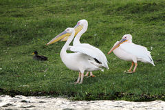 Beautiful Great Pelicans on green grass Stock Image