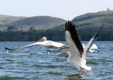 The beautiful Great Pelicans moving and flying away at Lake Naivasha, Kenya Royalty Free Stock Images