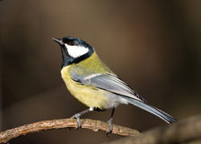 Beautiful great tit Royalty Free Stock Images