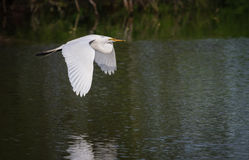 Beautiful great white egret carries nesting material to rookery Stock Photos