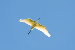 Beautiful Great white egret Royalty Free Stock Images
