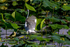 A Beautiful Great White Egret Landing in Lake Stock Photos