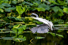 A Beautiful Great White Egret Landing on Water with Reflection. Among Lotus Water Lilies, (Ardea alba), Out Hunting for a Meal, at 40 Acre Lake at Brazos Bend Royalty Free Stock Images