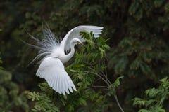 Free Beautiful Great White Heron Stock Photo - 149161090