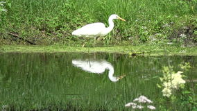 Beautiful great white heron Egretta alba hunting  on  lake stock footage