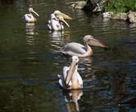 Beautiful Great white pelican (Pelecanus onocrotalus) Royalty Free Stock Images