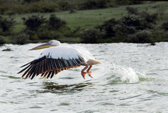 Beautiful Great White Pelican with wings spread down moving above water Royalty Free Stock Photography