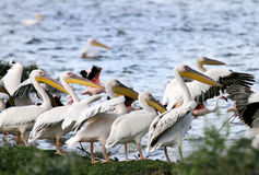 Beautiful Great white Pelicans on the bank of Naivasha Lake Royalty Free Stock Image