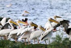 Beautiful Great white Pelicans on the bank of Naivasha Lake Royalty Free Stock Image