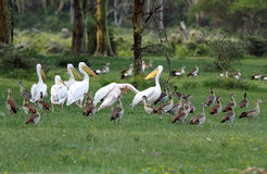 Beautiful Great white Pelicans and  Egyptian goose Royalty Free Stock Photo