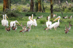 Beautiful Great white Pelicans with Egyptian goose Royalty Free Stock Photos