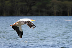 Beautiful Great white Pelicans in flight Royalty Free Stock Image