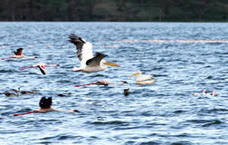 Beautiful lesser white Pelicans in flight Stock Photography