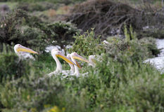 Beautiful Great white Pelicans hiding behind the bush Stock Photography