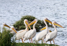 Beautiful Great white Pelicans Stock Image
