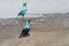 Beautiful Greater Blue-eared Starlings Royalty Free Stock Photos