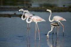 Beautiful Greater Flamingos Stock Photos
