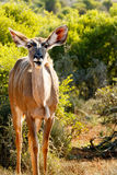 Beautiful - Greater Kudu - Tragelaphus strepsiceros. Beautiful - The greater kudu is a woodland antelope found throughout eastern and southern Africa. Despite royalty free stock image