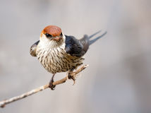 Beautiful greater striped swallow Stock Photography