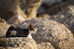 Beautiful greek cat Royalty Free Stock Photo