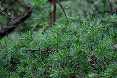 Beautiful green background from the branches of pine needles close-up royalty free stock photography