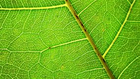 A macro of leaf details Royalty Free Stock Image
