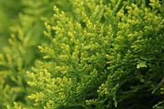 Beautiful green background of thuja tree stock photography
