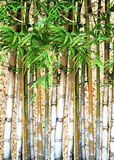 Beautiful green bamboo Royalty Free Stock Photos