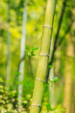Beautiful green bamboo forest Stock Image