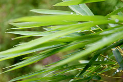 Beautiful green bamboo leaves  in a jungle background (blur front focus) Stock Photography