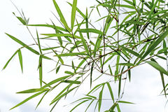 Beautiful green bamboo leaves  in a jungle  close-up Stock Image