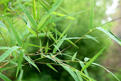 Beautiful green bamboo leaves  in a jungle close-up Royalty Free Stock Image