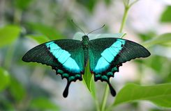 Beautiful Green-banded Peacock Butterfly. A beautiful Green-banded Peacock (Papilio Palinurus), also known as Emerald Swallowtail, native to Asia photographed in Royalty Free Stock Images