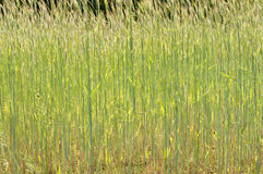 Beautiful green barley field in summer time Royalty Free Stock Images