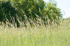 Beautiful green barley field in summer time Royalty Free Stock Photography