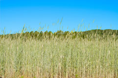 Beautiful green barley field in summer time Royalty Free Stock Image