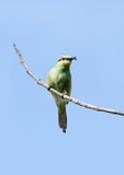 A beautiful green bee-eater with bee Royalty Free Stock Photo