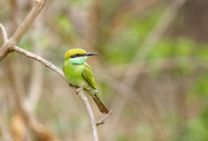 A beautiful green bee-eater in Jhirna Forest Stock Photos