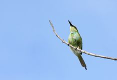 A beautiful green bee-eater with prey Royalty Free Stock Photos