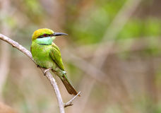 Beautiful green bee-eater Royalty Free Stock Image