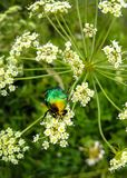A beautiful green beetle, an insect sits on a large white flower of a poisonous plant Cicúta virósa.  royalty free stock image