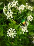 A beautiful green beetle, an insect sits on a large white flower of a poisonous plant Cic ta vir sa. A beautiful green beetle, an insect sits on a large white royalty free stock photos
