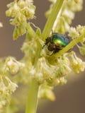 Beautiful green beetle Stock Photography