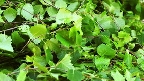Beautiful green birch leaves stock footage
