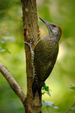Beautiful green bird Green Woodpecker, Picus viridis, sitting on the tree trunk with yellow lichen in the forest, bird in the natu Stock Photo