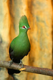 Crested Turaco Royalty Free Stock Photo