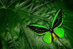Beautiful green and black butterfly. Ornithoptera euphorion, the Cairns birdwing, sitting on green leaves, north-eastern Australia Stock Photo
